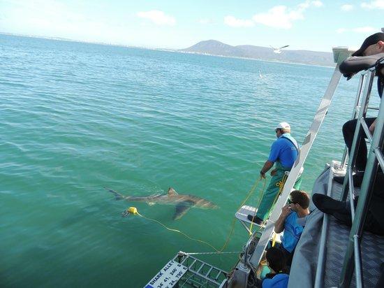 Marine Dynamics: male great white shark