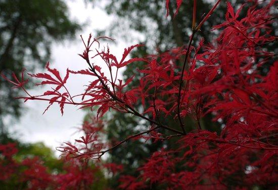 Westonbirt Arboretum : Beautiful colours of an Acer