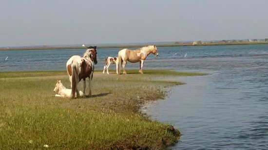 Comfort Suites Chincoteague: Freckles and Whisper with new foal spotted on boat tour