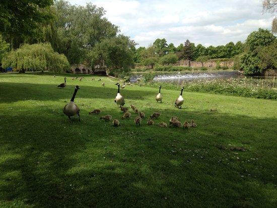 Leicester Abbey: Little ducks