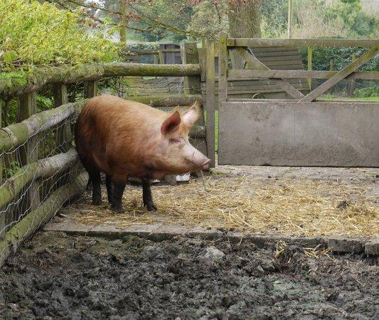 Acton Scott Historic Working Farm: Pig!