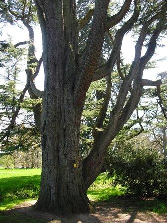 Westonbirt Arboretum : 2000 year old Cedar tree