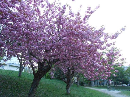 Nakajima Park : 満開の八重桜は存在感がありました