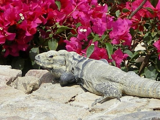 Sheraton Grand Los Cabos Hacienda Del Mar: Resident Iguana relaxing near one of the pools