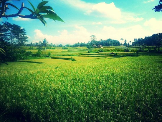 Campuhan Ridge Walk: Rice fields
