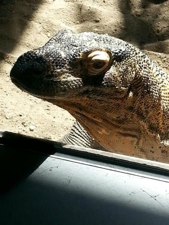 Turtle Back Zoo: Komodo Dragon
