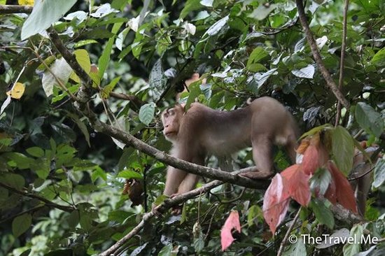 Tabin Wildlife Reserve: 塔繽保護區的��子