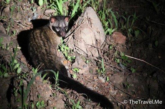 Tabin Wildlife Reserve: 塔繽保護區的麝貓(Civet)