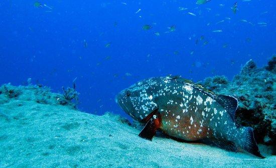 Atlantis Diving Lanzarote: Grouper