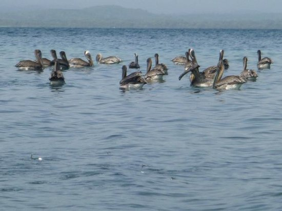 Xplora Panama Day Tours: Pelicans sharing our beach in San Blas