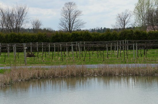 Lincoln Peak Vineyard: Vines