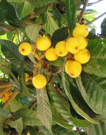 Jardín-Museo del Bonsái: Japanese Meddler fruit tree