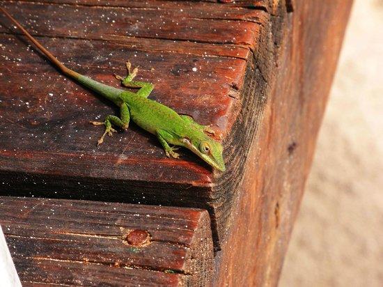 Hotel Chillies: Friendly geckos around