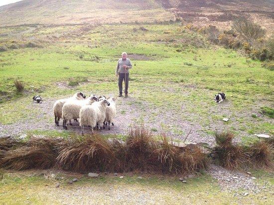 Deros Coach Tours: Working sheep dog