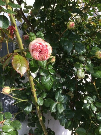 Les Chambres du Confiturier de Malethi : Pretty Pierre du Ronsard rose.