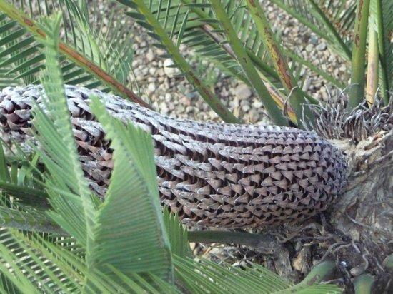 Ethnobotanical Garden: A male plant