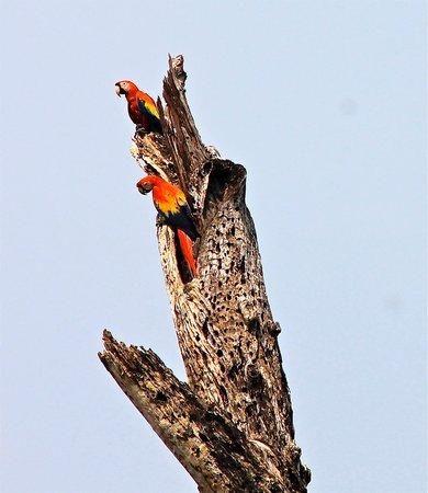 Mystic River Resort: Wild Scarlet Macaws