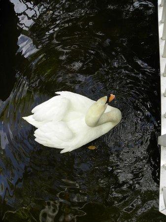 Bonaventure Resort & Spa: Resident Swan