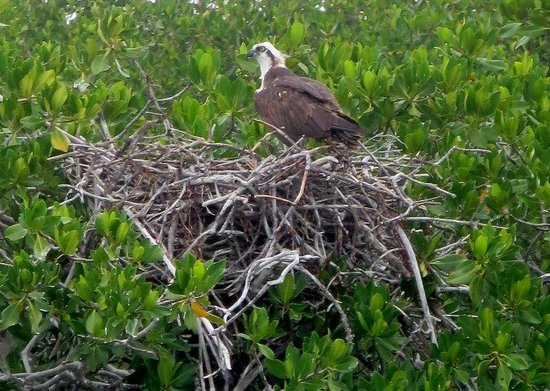 Capt. Sterling's Everglades Tour: An osprey on its nest