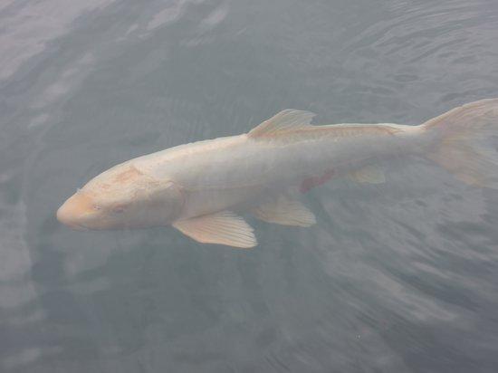Goshikinuma Lake: ハートマークの鯉