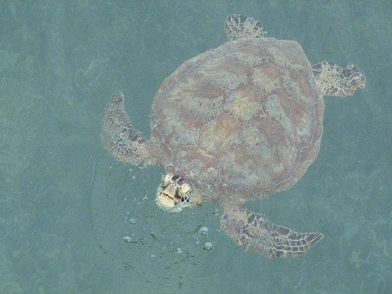 L'Escapade Island Resort : Une tortue comme il y en a plein