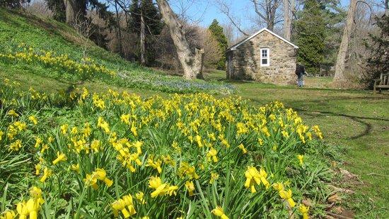 Tyler Arboretum : Daffodils in bloom.