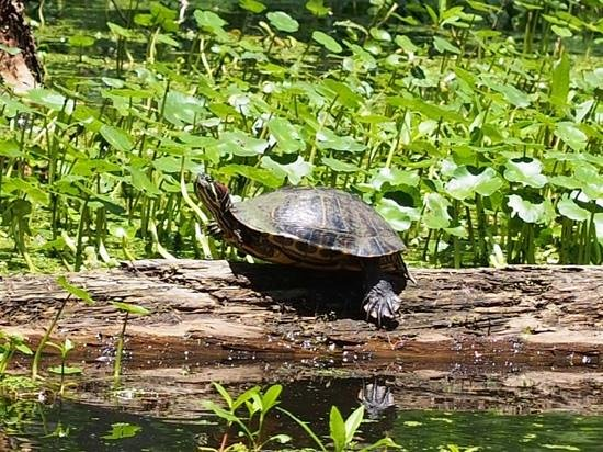Cajun Country Swamp Tours: Turtle sunning itself