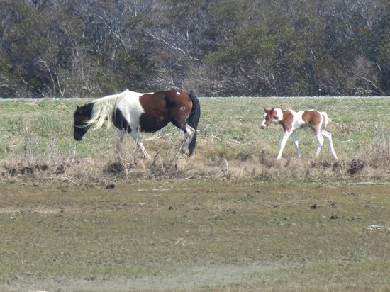 Daisey's Island Cruises : Pony and foal from the northern herd