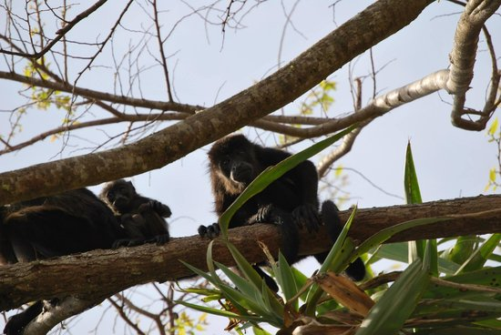 Hotel Riu Guanacaste: Monkeys outside our room