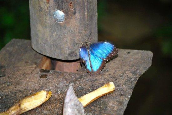 Hotel Riu Guanacaste: Blue Morpho Butterfly <3
