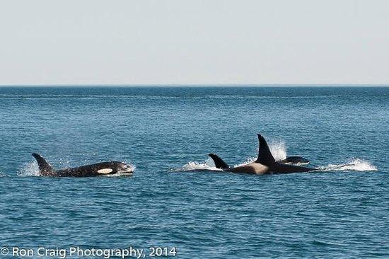 Resurrection Bay: Orcas