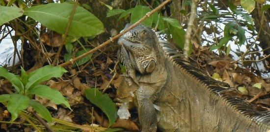 Pachira Lodge: Resident iguana
