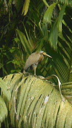 Pachira Lodge: Boat billed heron
