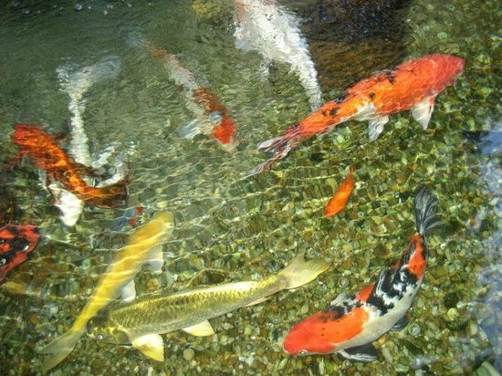 Fish in their koi pond picture of hollis garden for Nice koi fish pond