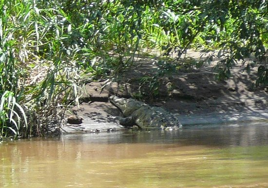 Pachira Lodge: American crocodile