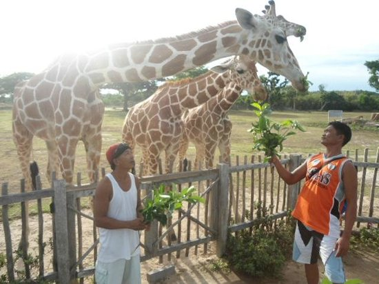 Calauit Wildlife Sanctuary: feeding giraffes