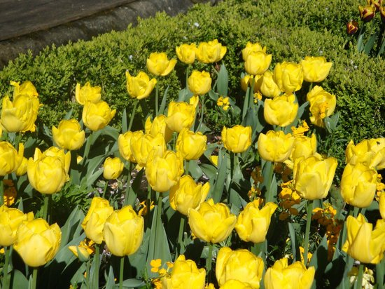Stauntons on the Green : Tulips