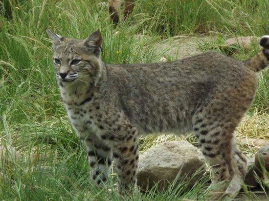 California Area Living Museum (CALM): bobcat