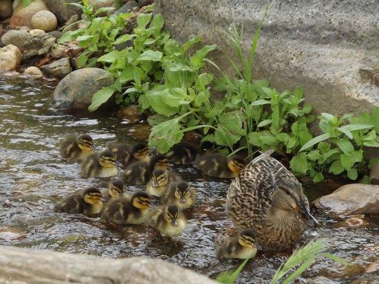 California Area Living Museum (CALM): ducks