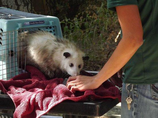 California Area Living Museum (CALM): opossum