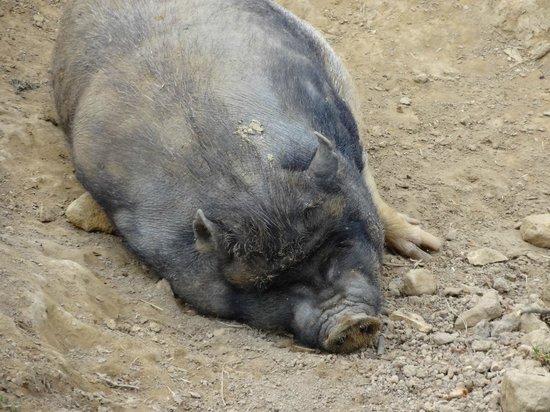 Chantier Médiéval de Guédelon: a tired pig