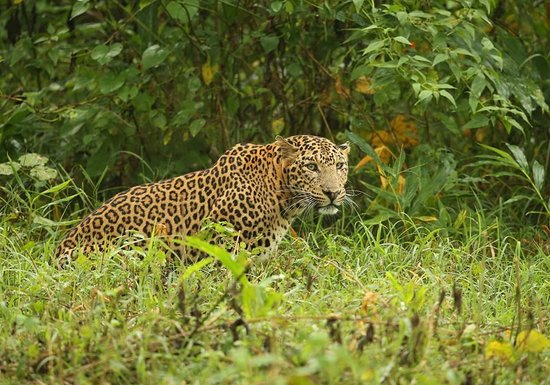 Kabini River Lodge: Leopard ok look out for Lunch