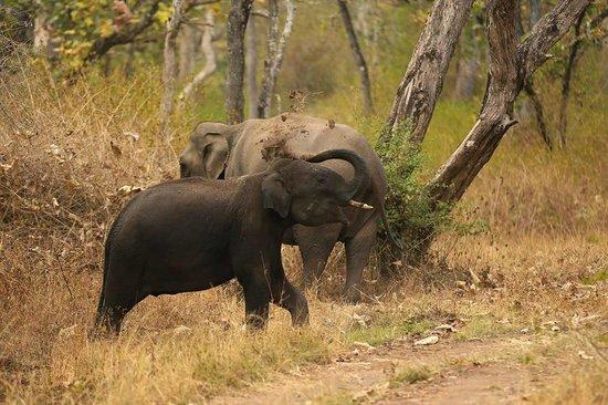 Jungle Lodges Kabini River Lodge: Mud bath of a young tusker