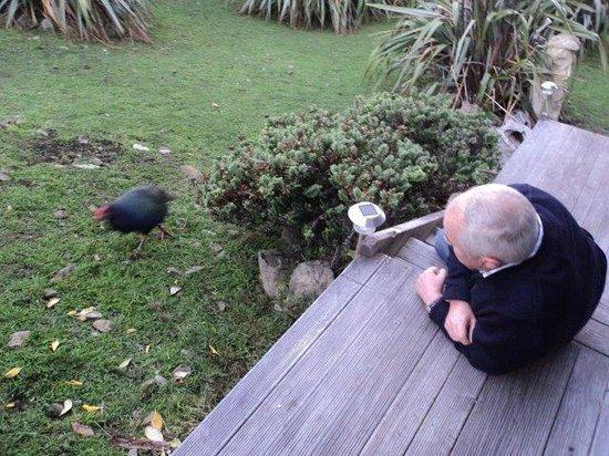 Kapiti Island Nature Tours: Takahe on the lawn