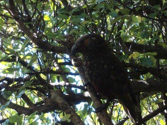 Kapiti Island Nature Tours: Cheeky kaka