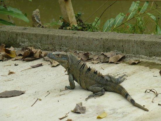 Kayak Lodge: iguana