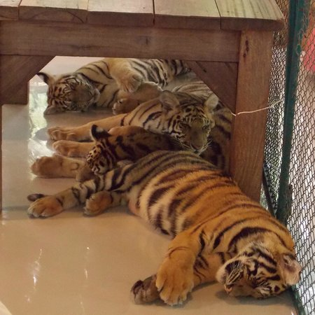 Tiger Kingdom Chiang Mai : TIGER KINGDOM