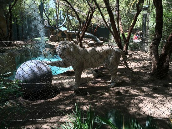 Siberian White Tiger Picture Of Siegfried Roy 39 S Secret Garden And Dolphin Habitat Las Vegas