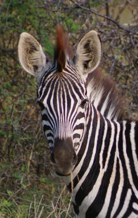 Greenfire Game Lodge: Zebra we saw on safari