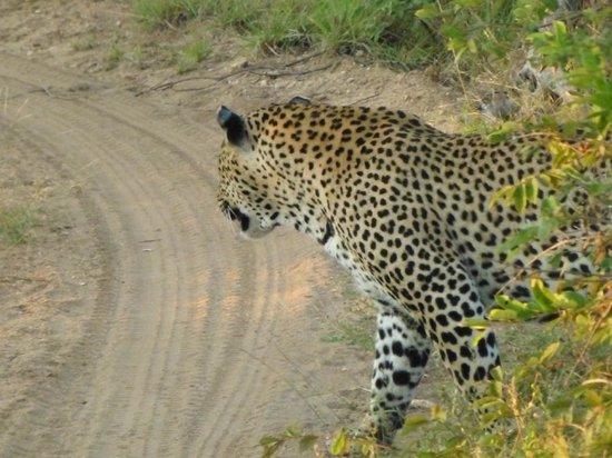 Greenfire Game Lodge : Leopard we saw on safari